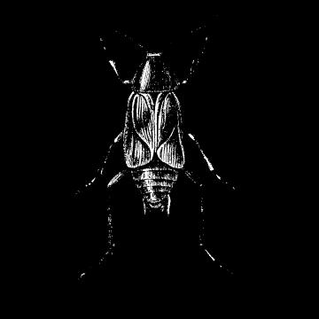 Scarafaggio Nero