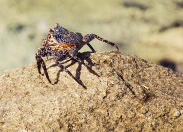 La disinfestazione del ragno violino