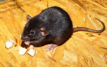 Disinfestazione dai ratti