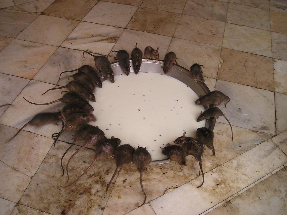 Ratti in casa