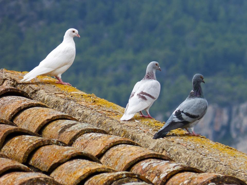 Allontanare i piccioni dal tetto