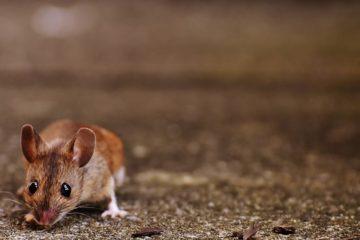 Come allontanare i topi da casa