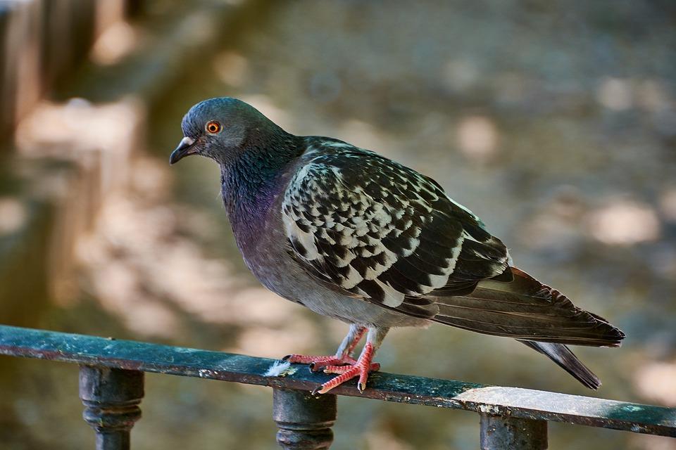 Come allontanare i piccioni dal proprio balcone