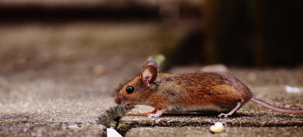 Veleno potente per topi