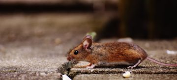 Cerchi un veleno per topi potente?