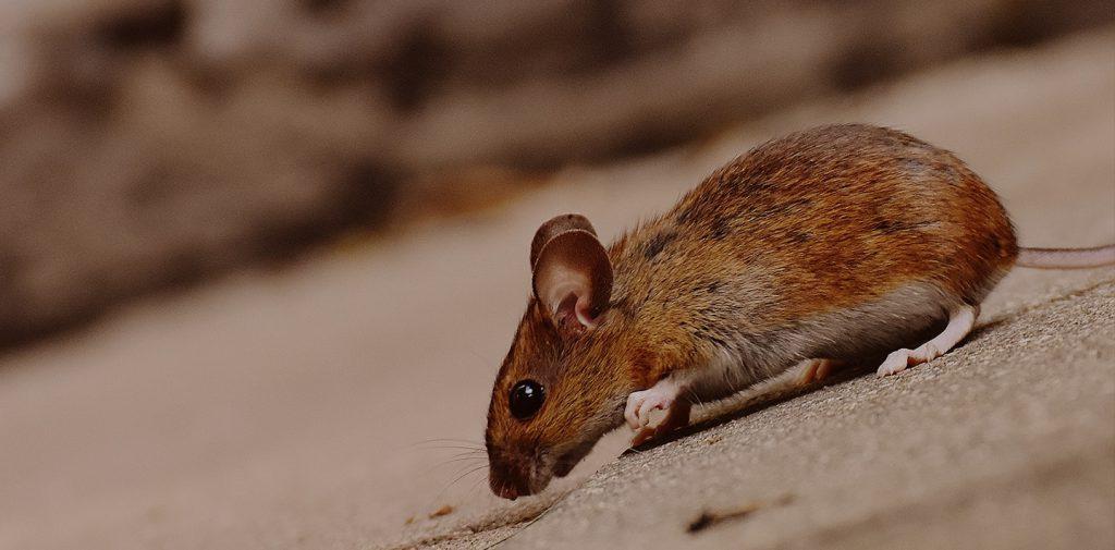 disinfestazione di ratti, blatte, volatili e scarafaggi - Sisdisinfestazione.it