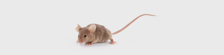 infestazione topi