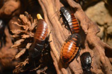 Disinfestazione scarafaggi, ecco come intervenire