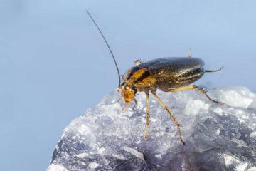 Disinfestazione blatte costo, come liberarsi di questi fastidiosi insetti