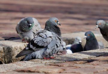 Allontanare piccioni, come tenerli lontano dalle proprie case
