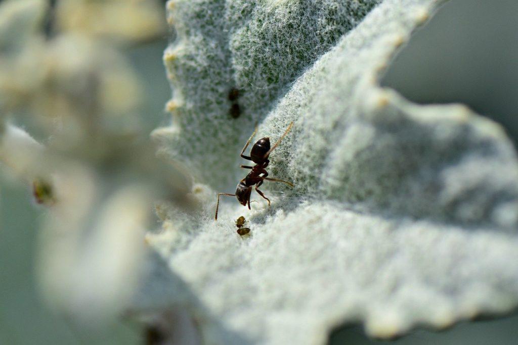 come sterminare le formiche