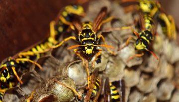 Disinfestazione vespe, tra fobia e pericoli per la salute