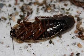 miglior insetticida scarafaggi