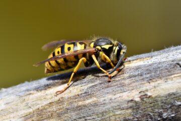 Nido di vespe: cosa fare per non essere punti