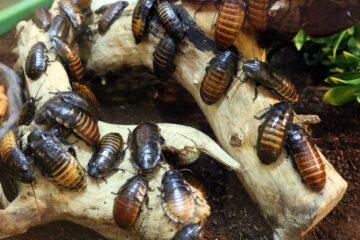 Come disinfestare casa dagli scarafaggi