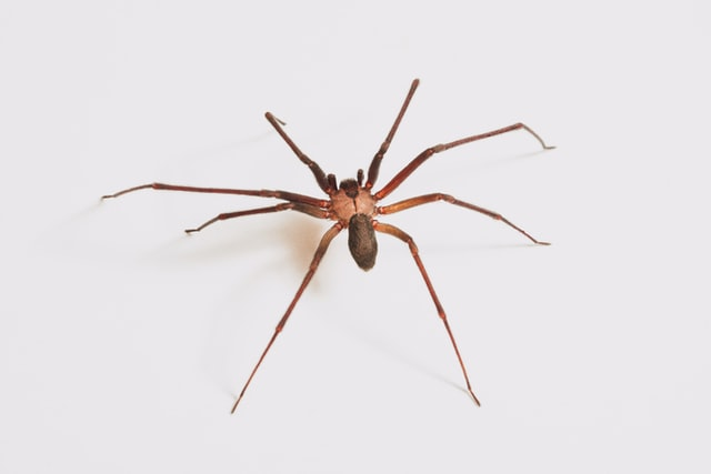 disinfestazione da ragni